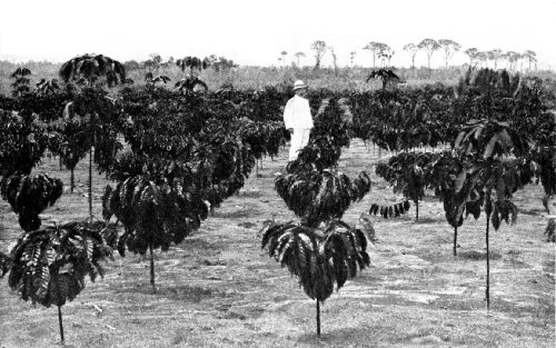 One-Year-Old Robusta Estate, on Sumatra's West Coast
