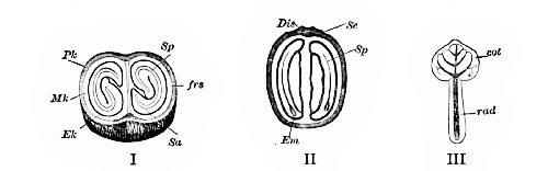 Fig. 331. Coffee (Coffea arabica).