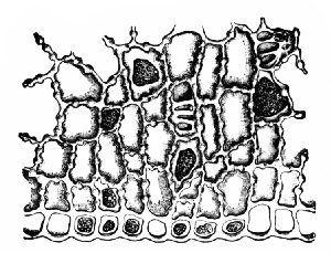 Fig. 338. Coffee. Cross-section of outer layers of endosperm, showing knotty thickenings of cell walls. x160. (Moeller)