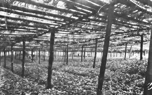 Coffee Nursery Under a Bamboo Roof in Colombia