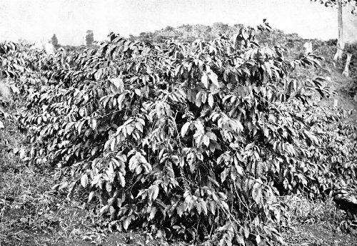 A NEAR VIEW OF A HEAVILY LADEN COFFEE TREE ON A BOGOTA PLANTATION