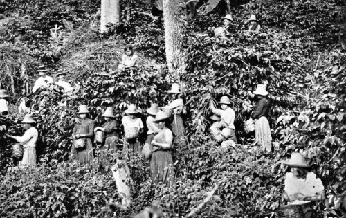 Picking Coffee on a Bogota Plantation