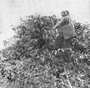 Native Picking Coffee, Sumatra