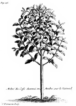 "The Coffee Tree as Pictured by La Roque in His ""Voyage de