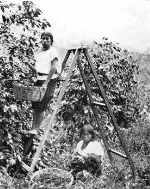 Indians Picking Coffee, Guatemala