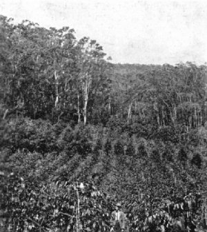 Coffee Growing Under Shade, Hamakua, H.I.