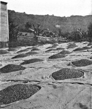 Coffee on the Drying Floors in Porto Rico