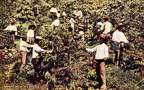 Japanese Laborers Picking Coffee on Kona Side, Island of Hawaii